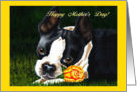 Mother's Day - Boston Terrier Yellow Rose card