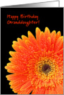 Orange and yellow gerbera - Happy Birthday Granddaughter card