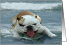 Surfing English Bull Dog card