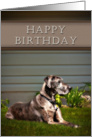 Happy Birthday, Great Dane Dog on Grass card