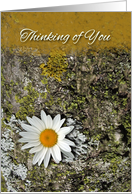 Thinking of You at Camp, Daisy Flower and Lichens card