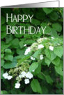 Happy Birthday-Climbing Hydrangea in garden. card