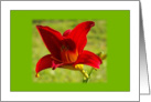 Blank Red Daylily card