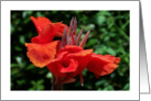 Blank Red Canna Lily card