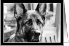 German Shepherd Dog headshot card