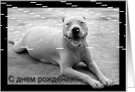 Russian Happy Birthday White pitbull card