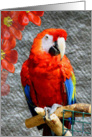 Mr. Scarlet Macaw card