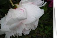Caregiver Support Rain Kissed White Peony card