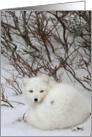 Arctic fox curled card