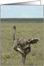 Ostrich talker card