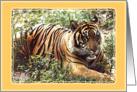 Sumatran Tiger card