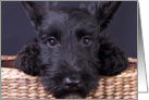 Scottish Terrier Puppy card