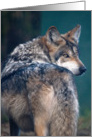 Mexican Grey Wolf - blank inside card