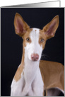 Time to Catch Up - featuring an Ibizan Hound card