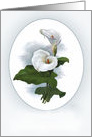 Two Lovely White Calla Lilies card