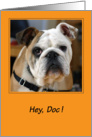 Congratulations / Veterinarian, bulldog card
