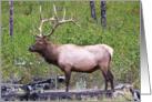 Father's Day - Bull Elk card