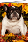 Fall, Pied French Bulldog card