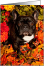 It's Fall, Brindle French Bulldog card