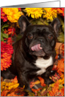 It's Fall, Brindle French Bulldog Happy card