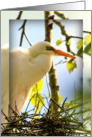 Snowy Egret Nesting, Photograph of Bird, Blank Inside card