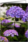 Happy Birthday Mom, from your daughter, Purple Hydrangeas card