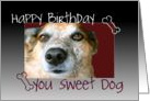 Happy Birthday You Sweet Dog, Close Up Dog Photo card