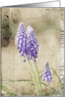 Spring Delivery - Grape Hyacinth Flowers- All Occasion Blank Note Card