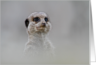 Birthday - Animal Park Meerkat card