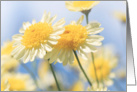 Blank Note Card - Sunlit Yellow Marguerite Daisy Flowers card