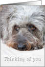 Thinking of You Card - Soulful Looking Scruffy Pup Irish Wolfhound card