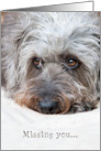 Missing You Card - Soulful Looking Scruffy Pup card