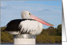 Pelican sitting on post-Blank Card