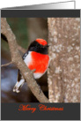 Red-capped Robin Christmas card