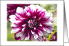 Purple Dahlia Blank Card