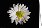 White Daisy Portrait. card